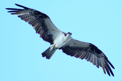 osprey flying over cruise ship